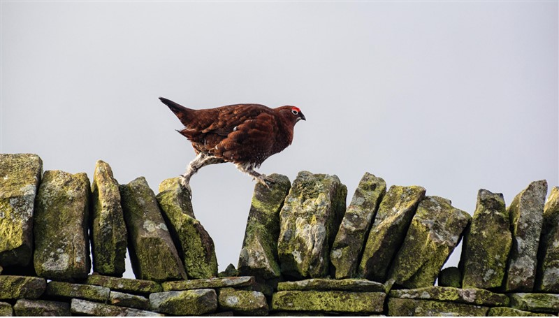 A Red Grouse walking along a wall